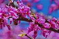 Bee in a Redbud