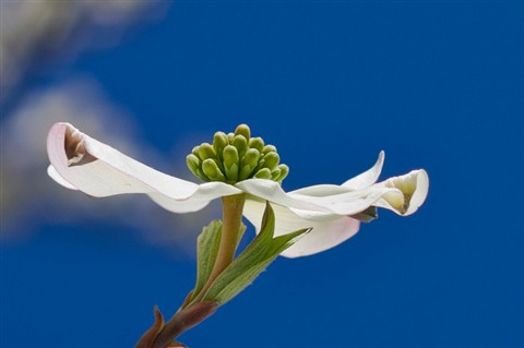 dogwood bloom 3