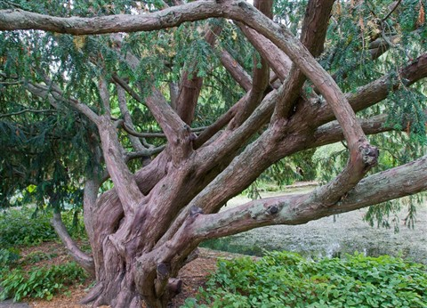 taxus baccata dovastoniana tree roger may galleries. Black Bedroom Furniture Sets. Home Design Ideas