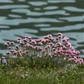 Sea Thrift.  (Armeria maritima)