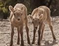 bighorn babies