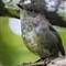 New Zealand Toutouwai (North Island Robin)