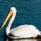 White Pelican 010