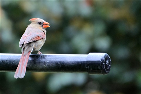 cardinal.female1