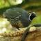 California Quail - likes parrot food