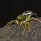 jumping-spider(dp)