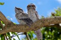 Tawny Frogmouth Siblings - the chicks of a  very successful breeding pair that return to my backyard every year and let me very close.