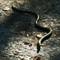 2012-1554 snake Rila Monastery Bulgaria