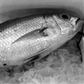 One fish sample (B/W)