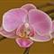 Orchid EPL1/ OM 135mm 4.5 macro/ OM 65-116 tubus