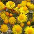 Everlasting daisies - Australian wildflowers