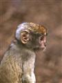 510864.Scan_ Baby Patas monkey