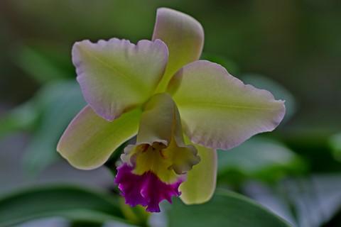 Cattleya....  orchid
