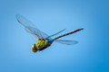 Giant Darner in Flight