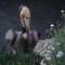 Cove Pelican