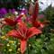 lilies after rain