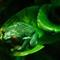 Tree Frog at Bronx Zoo