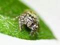 J Is For Jumper - Very Small Jumping Spider