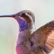 Blue-throated Hummingbird-91