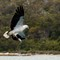 White-bellied Sea Eagle 03