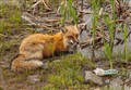 newfoundland fox  (1 of 1)