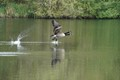 Canada Geese have synchronised takeoff nailed!