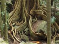 Tree roots in Mt Warning National Park