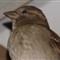 House Sparrow?