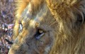 Lion close-up