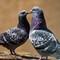 PigeonCourtship_1_M222879