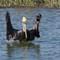 3-11-14 peliican conducting 671 (1 of 1)