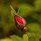 PA_DiscoveryTr_Wildrose_2XS_062111_1_1_900px_reduced