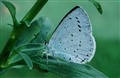 Holly Blue IMG_0400