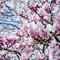 Spring: Magnolia