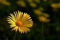 Yellow daisy 1100pix NX boost