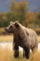 Young Grizzly on Alert