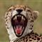 cheetah_dp