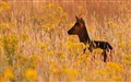 A roe deer in golden light!