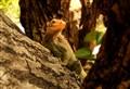 Ambitious Iguana