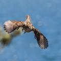sparrow in flight