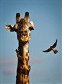 Giraffe and Oxpeckers