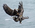 Eagles in combat