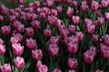 """belgium """"groot bijgarten"""" tulips"""