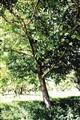 single apple tree