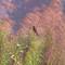 Indian bird-Bulbul,on grass reeds,Salt lke.