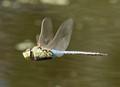 A Green Darner Dragonfly