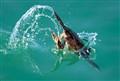 Cormorant Dive