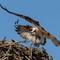 Osprey in good light 80D-20160626-0268-Edit