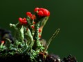 Cladonia crystatella.
