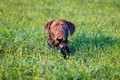 Dog in the Long Grass